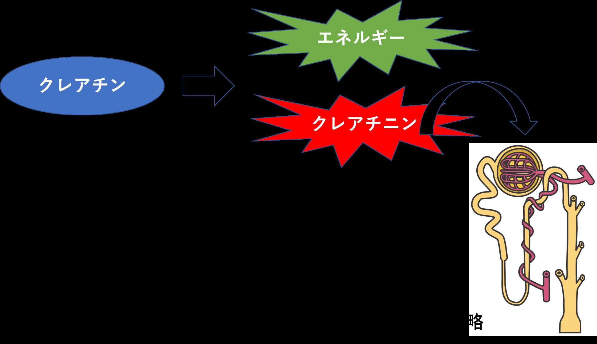 腎臓 クレアチン